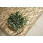 Kanonplantje - Pilea glaucophylla 20 cm