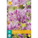 Allium Eros - sierui (10 stuks)