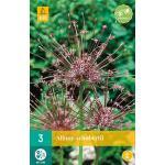 Allium Schubertii - sierui (3 stuks)