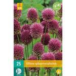 Allium sphaerocephalon sierui - 25 stuks (25 stuks)