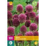 Allium sphaerocephalon sierui - 100 stuks (100 stuks)
