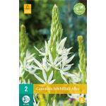Camassia leichtlinii 'Alba' - prairielelie (2 stuks)
