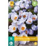 Crocus Blue Pearl - kleinbloemige krokus (15 stuks)