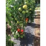 Gronddoek met openingen voor tomaten - 60 cm x 5 m