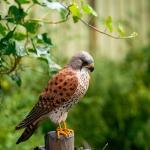 Houten vogel - torenvalk