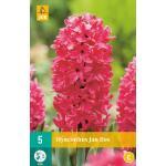 Hyacint Jan Bos - hyacint rood (5 stuks)