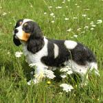 King Charles Flappy - levensecht