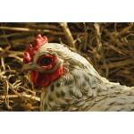 Zittende kip WIT - levensecht