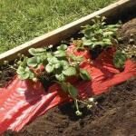 Rode folie voor een betere plantengroei