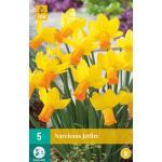 Narcissus Jetfire - botanische narcis