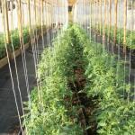 Tomatenkoorden - tomatentouwen 220 cm (200 stuks)