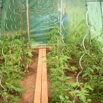 Tomatenspiralen 180 cm