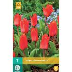 Tulipa Showwinner - Kaufmanniana tulp
